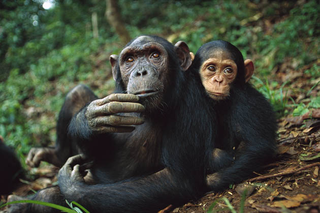 Chimpanzee female and adopted baby