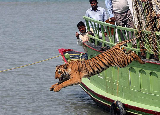 Rescued tiger released in Sunderbans, India