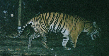 Three-legged Sumatran tiger