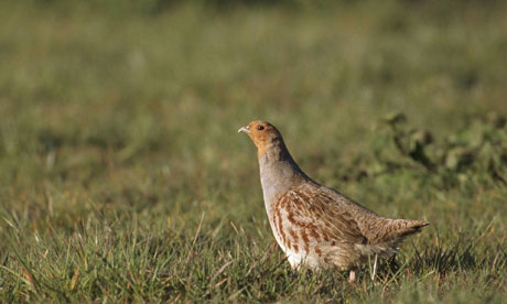 A grey partridge