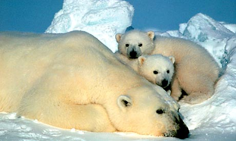 Polar bears in the Arctic National Wildlife Refuge in Alaska