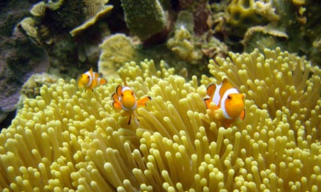 Clownfish swim in Indonesia