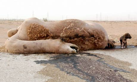 A camel lies dead at the side of a road near the Saudi capital Riyadh