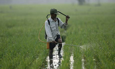 Rice farmer in Indonesia.