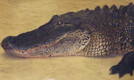 The alligator in Sandra Frosti's kitchen. Photograph: AP