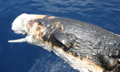 A dead sperm whale floating in the gulf of mexico seen from the deck of noaa ship pisces