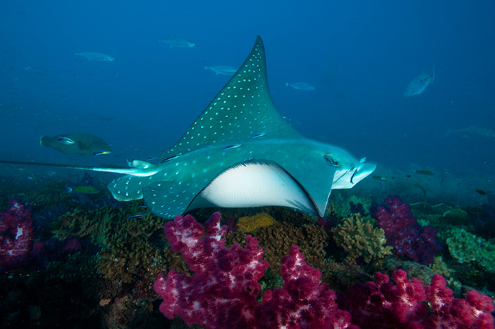Great Barrier Reef: A manta ray cruises over the Yongala shipwreck
