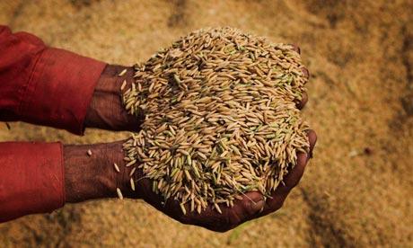 Rice harvest in Punjab