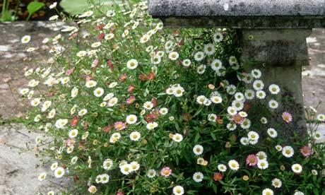 Daisy fleabane growing over stone steps in a terraced garden